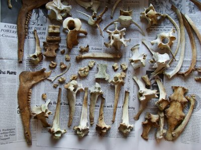 """Bones I found, organized (somewhat) neatly. A rejected submission to """"Things Organized Neatly."""""""